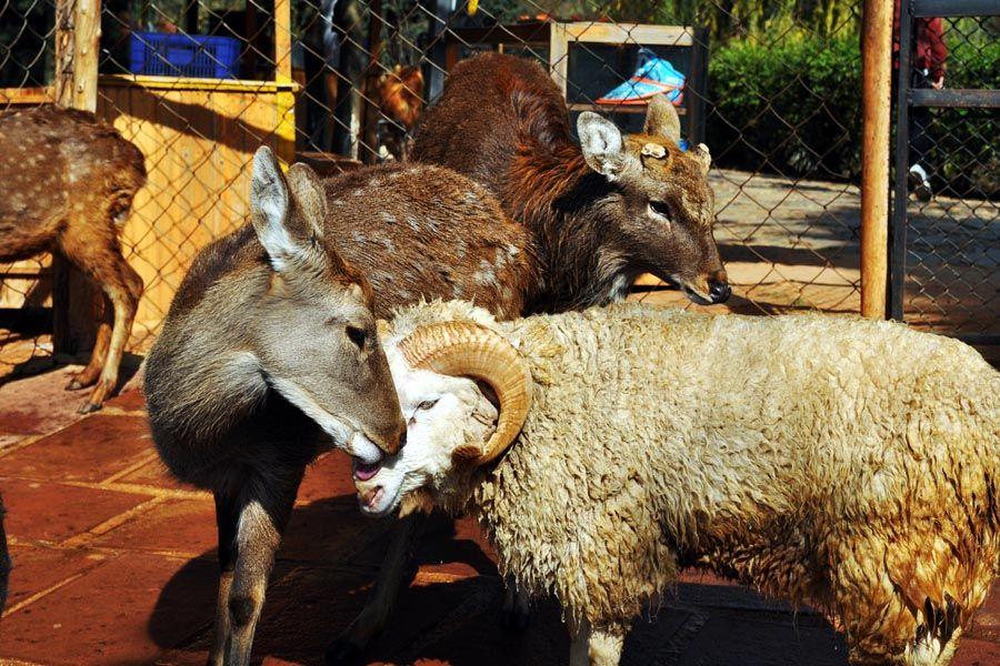 Amor oveja y ciervo