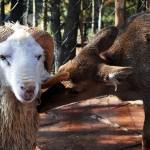 Una oveja y un ciervo se casaran en zoológico de China