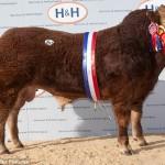Un toro es vendido en el Reino Unido por 198 mil dólares