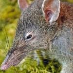 Aleluya, descubren una rata sin dientes y con nariz larga, la evolución no mentía!