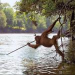 orangutan-pescando