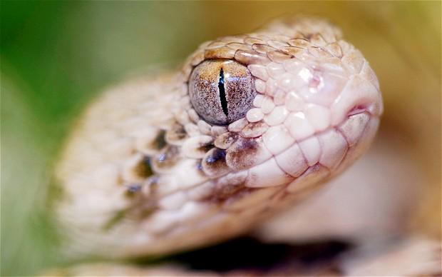 Niño mastica serpiente en Israel